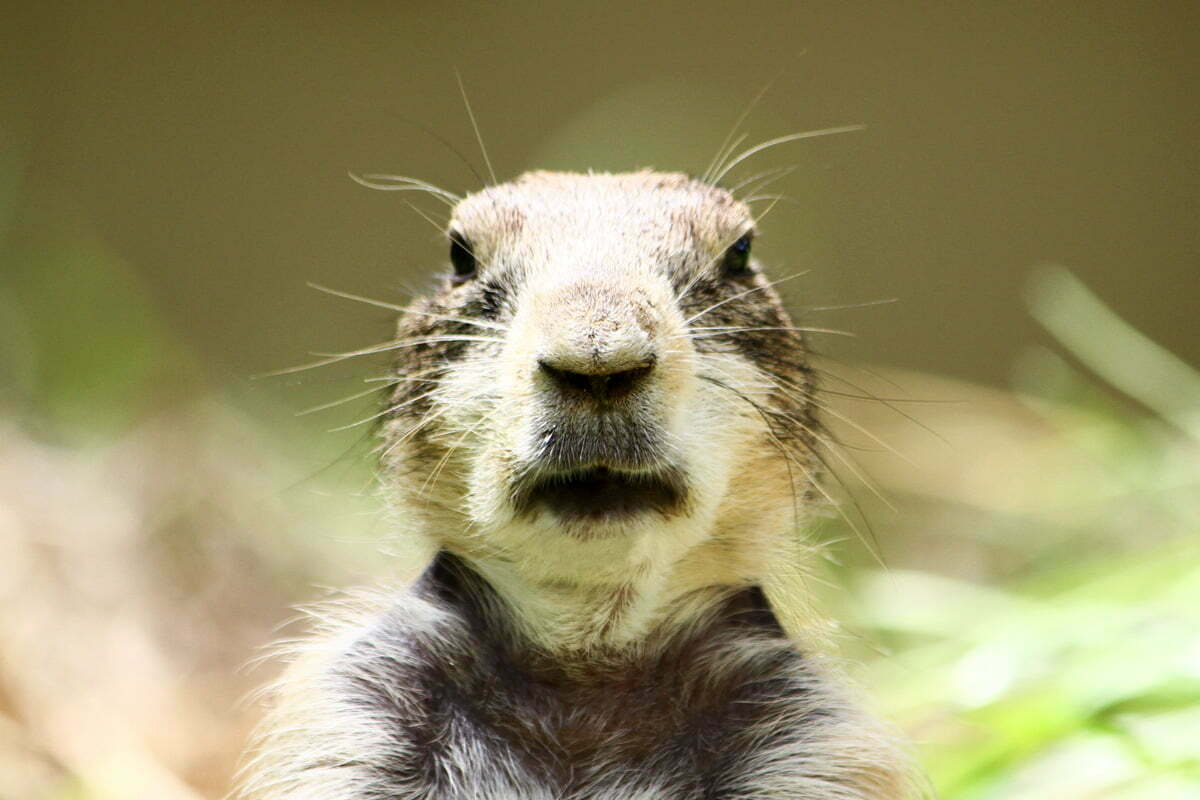 A portrait of a prairie dog sitting on its hind legs and looking directly into the camera.