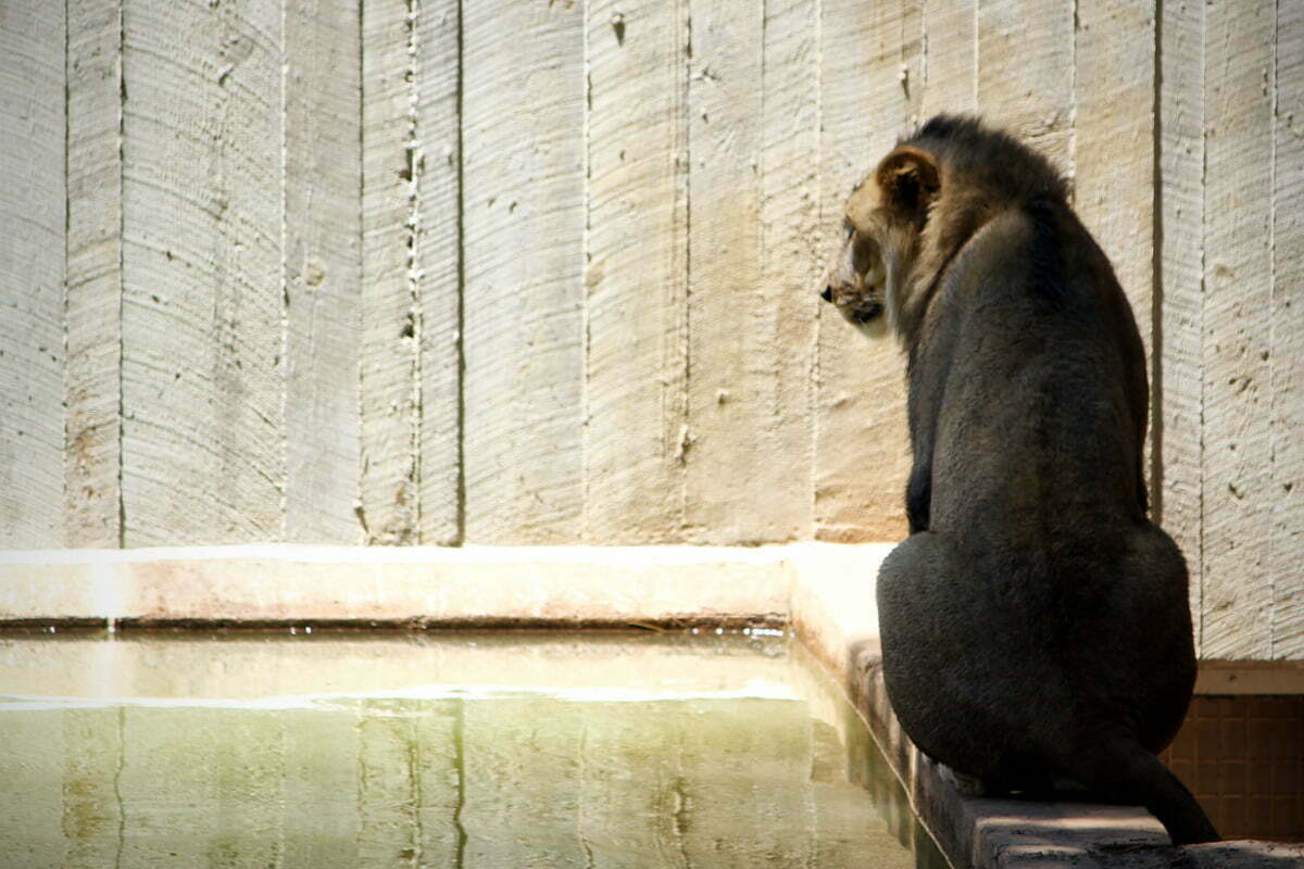 A solitary lion sits in the shadows on the edge of the water at the National Zoo in Washington DC.