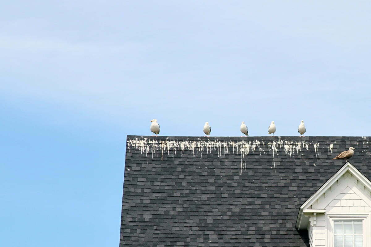 A number of sea gulls in poop along a roof in Port Clyde, Maine.