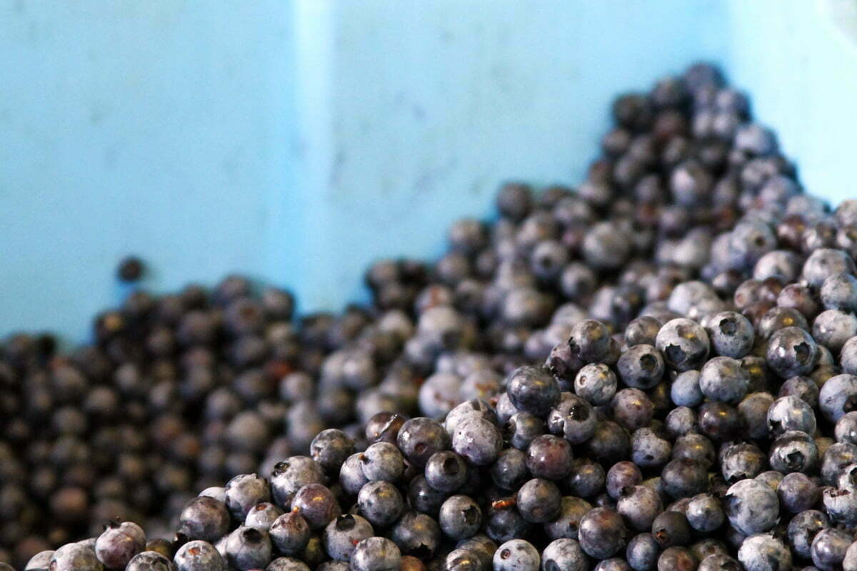 A freshly picked pile of blubes in a blue bucket in Maine.
