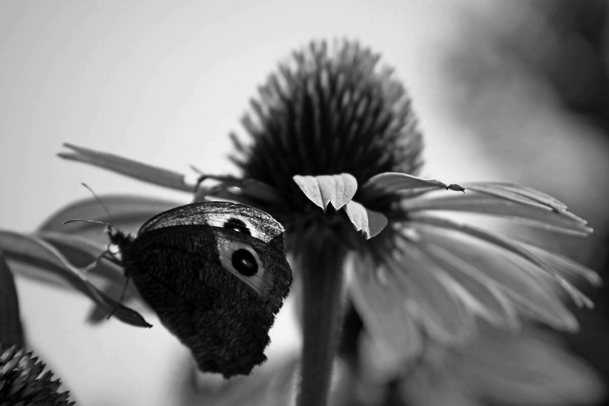 A black and white photograph of a butterfly feeding near a echinacea purpurea.