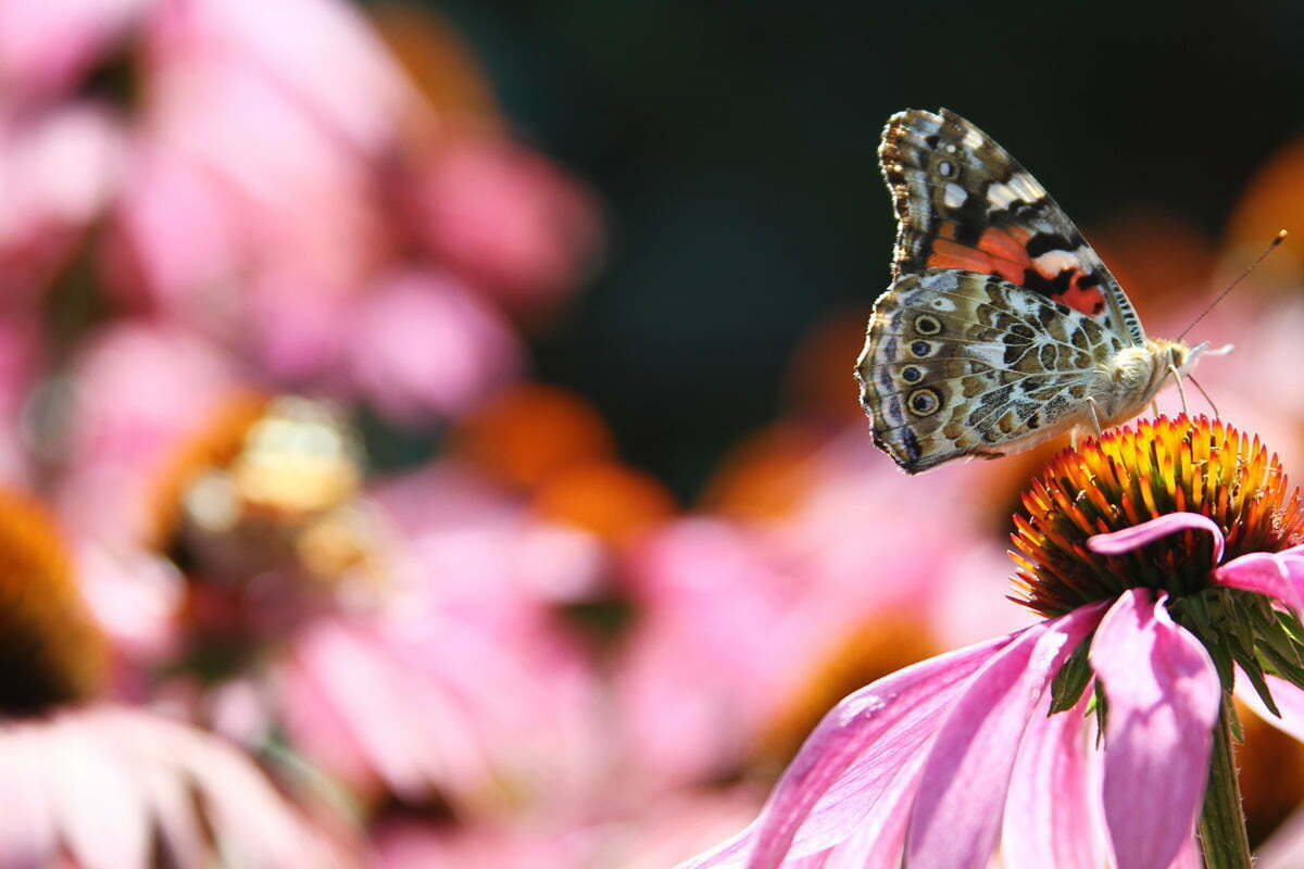 A Painted Lady (Vanessa cardui) Butterfly feeding on a Purple Coneflower (Echinacea).