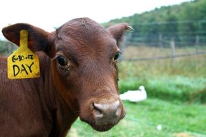 A calf on a farm in Vermont with an ear label looks at the camera.