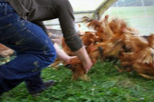 Joe runs to catch a chicken in a coop in Vermont.