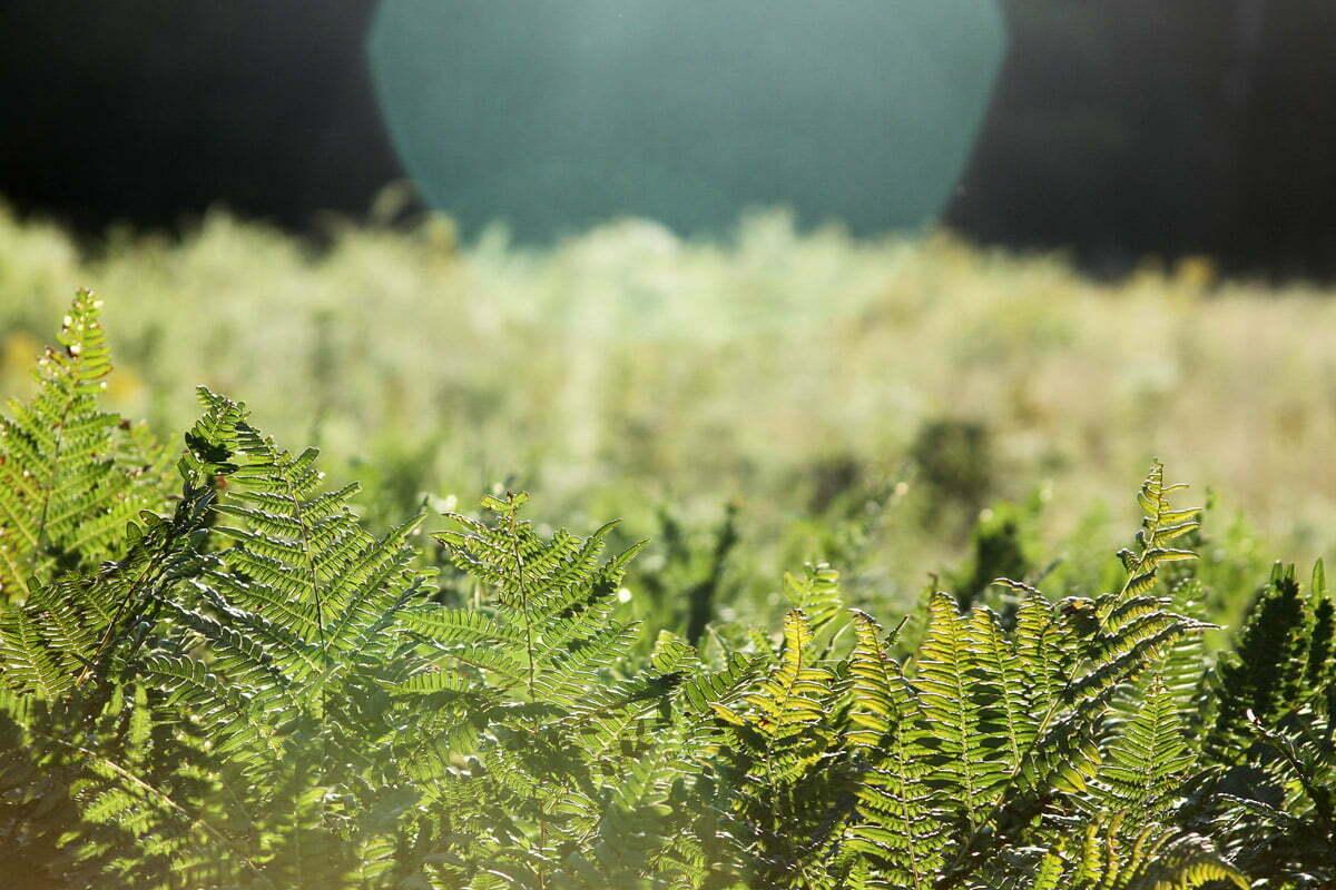 A field full of green ferns is basked in sunlight.