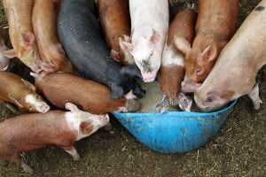 Many pigs crowd the food trough on a farm in Vermont.