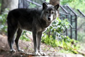 A gray wolf seen in his enclosure at the American Trail in the National Zoo.