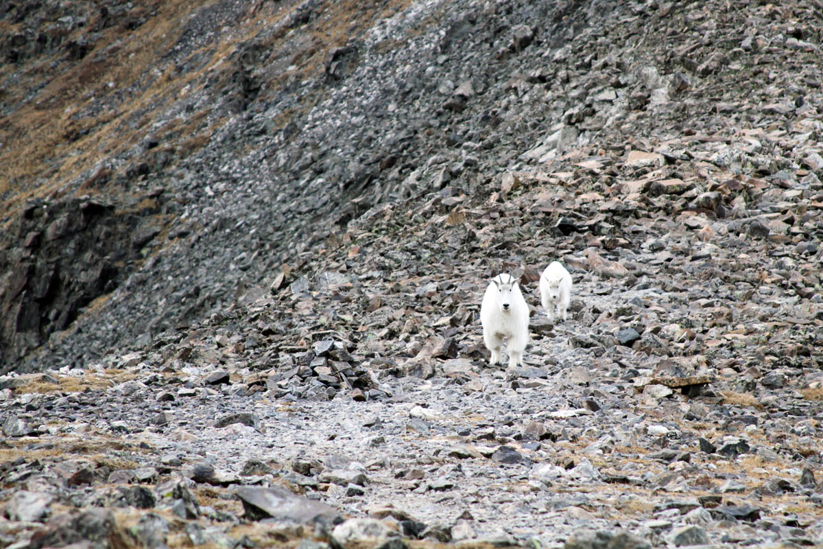 A mother and child mountain goat approach on a Colorado slope.