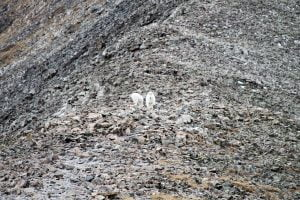 Some Colorado mountain goats descend a rocky slope.