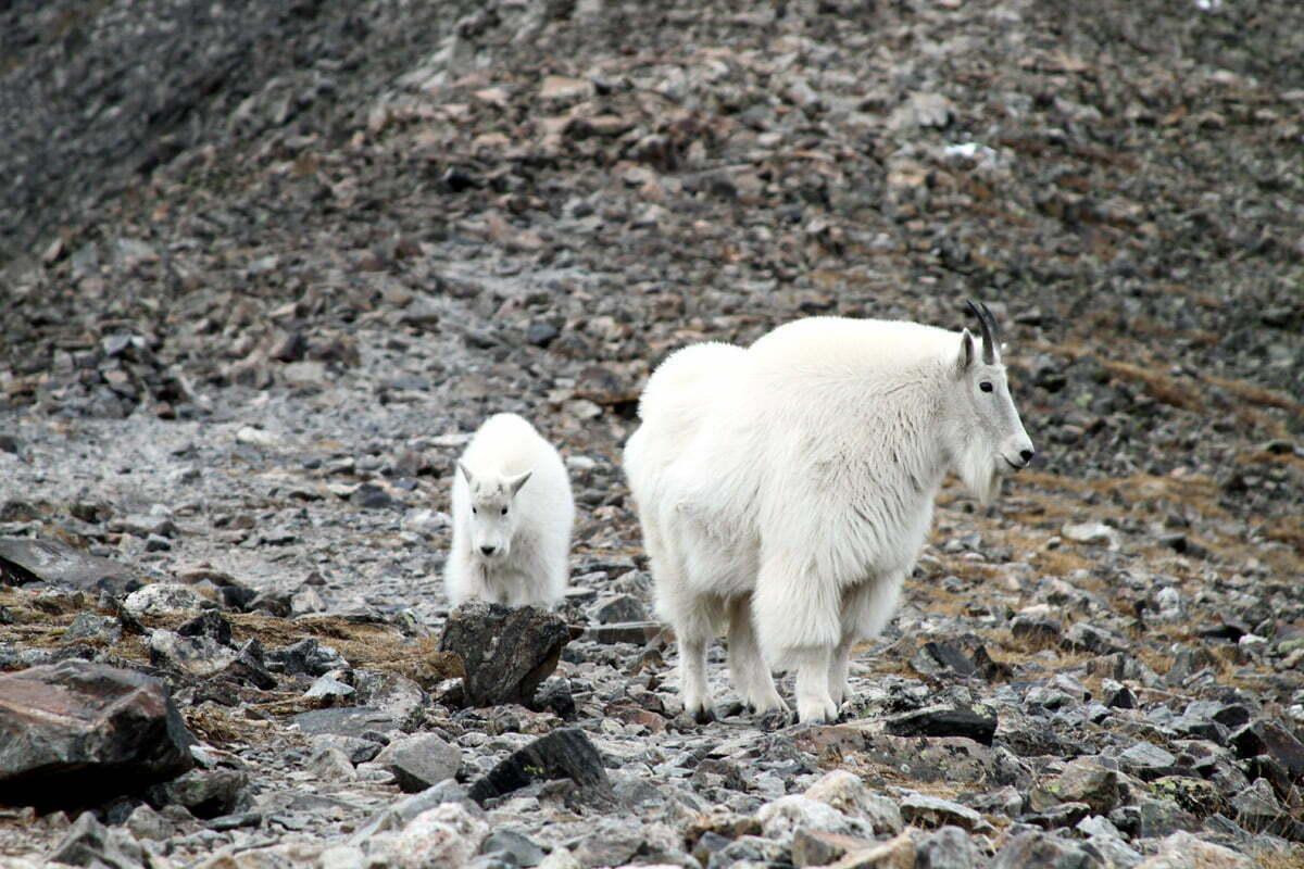 A closer pair of mountain goats on a Colorado mountaintop.