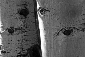 Notches in birch trees that resemble eyes.
