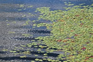 Green lily pads float on a blue lake in Vermont.