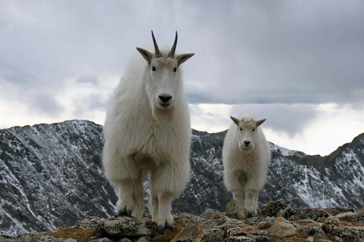 A mountain goat mother and kid approach the cameraman during a hike in Colorado.