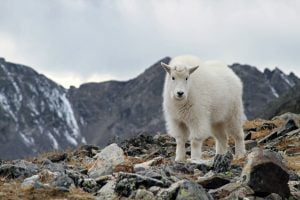 A puffy rocky mountain goat kid is seen looking into the camera in Colorado.