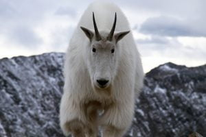 A mountain goat looks directly at the camera on a hike in Colorado.