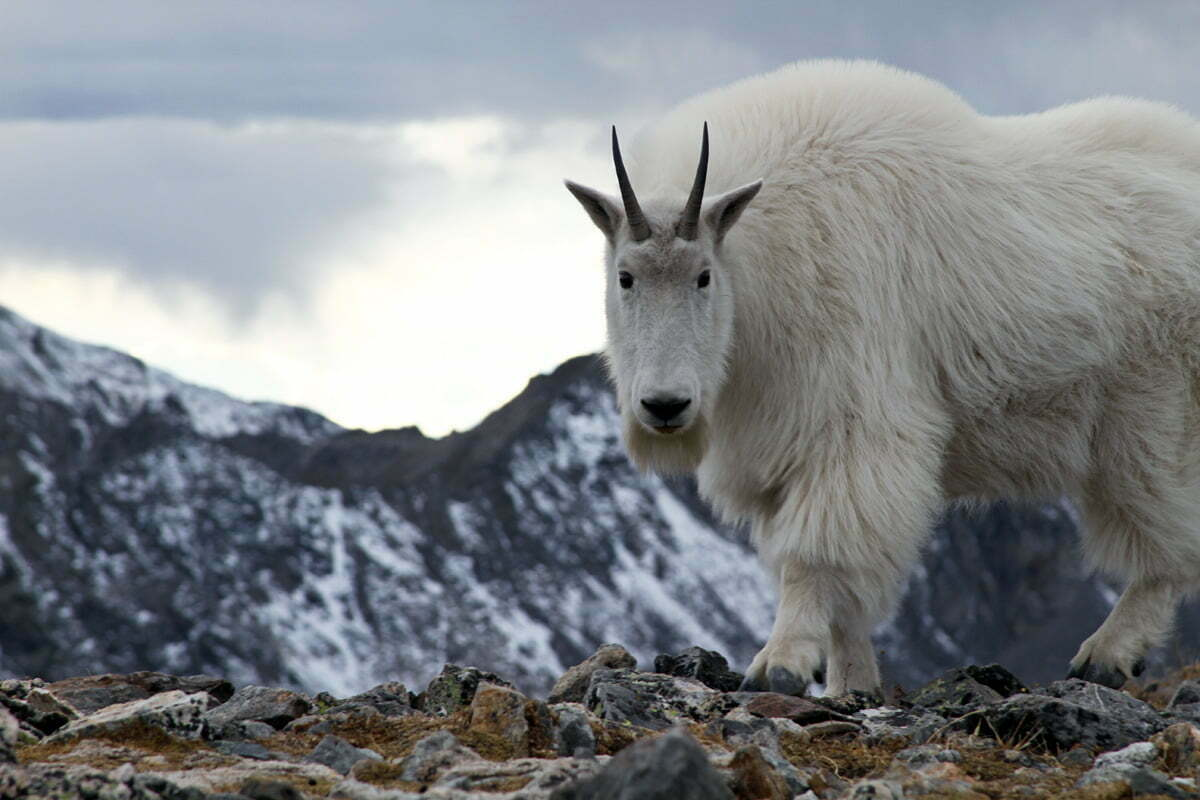 A mountain goat seen in Colorado stares at the cameraman as it approaches.