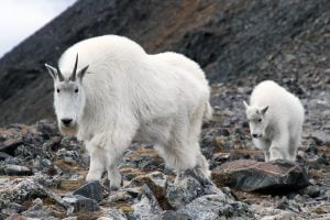 A mom and kid mountain goat continue approaching the camera in Colorado.