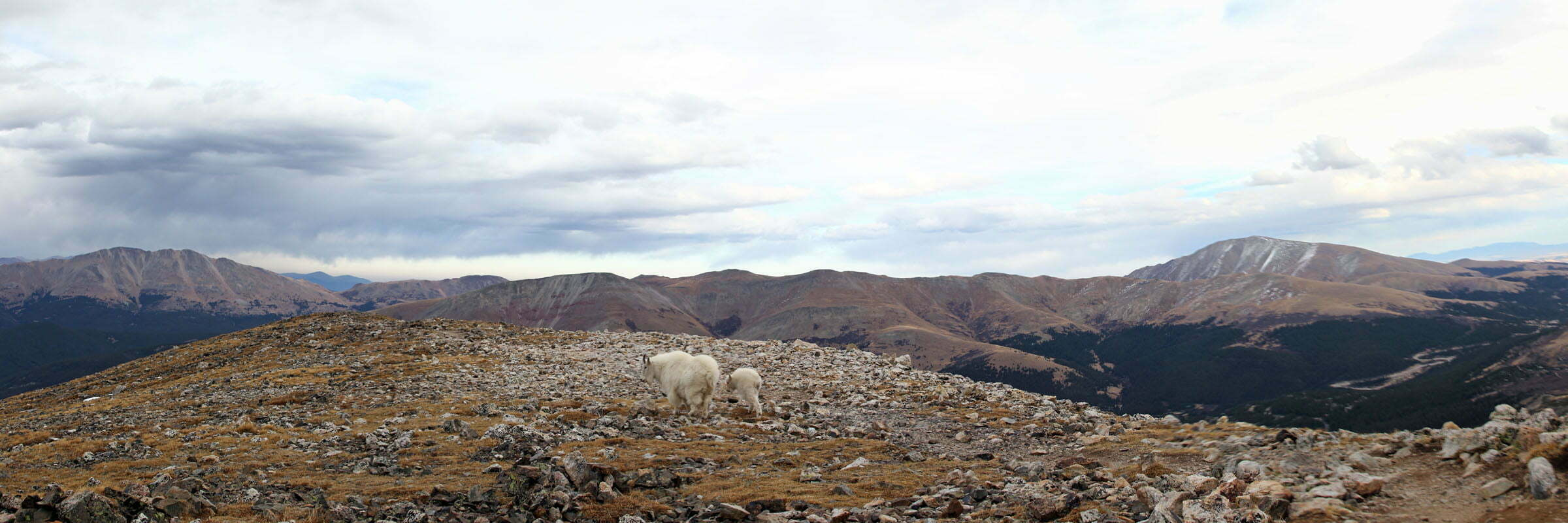 A panoramic photo of the mountains of Colorado with two mountain goats front and center.