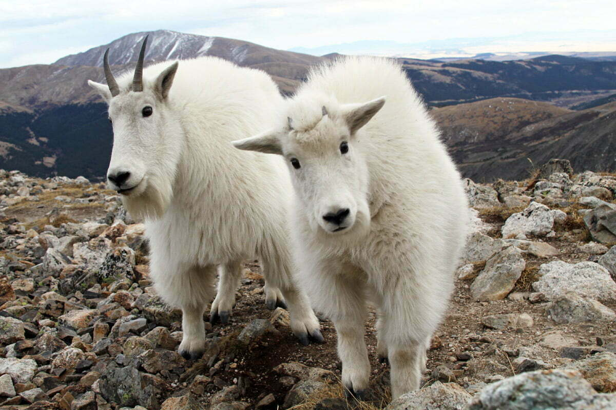 A curious mountain goat and kid come close to the camera to inspect the lens on a Colorado mountaintop.