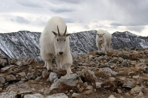 A mountain goat and kid come closer for an inspection in Colorado.