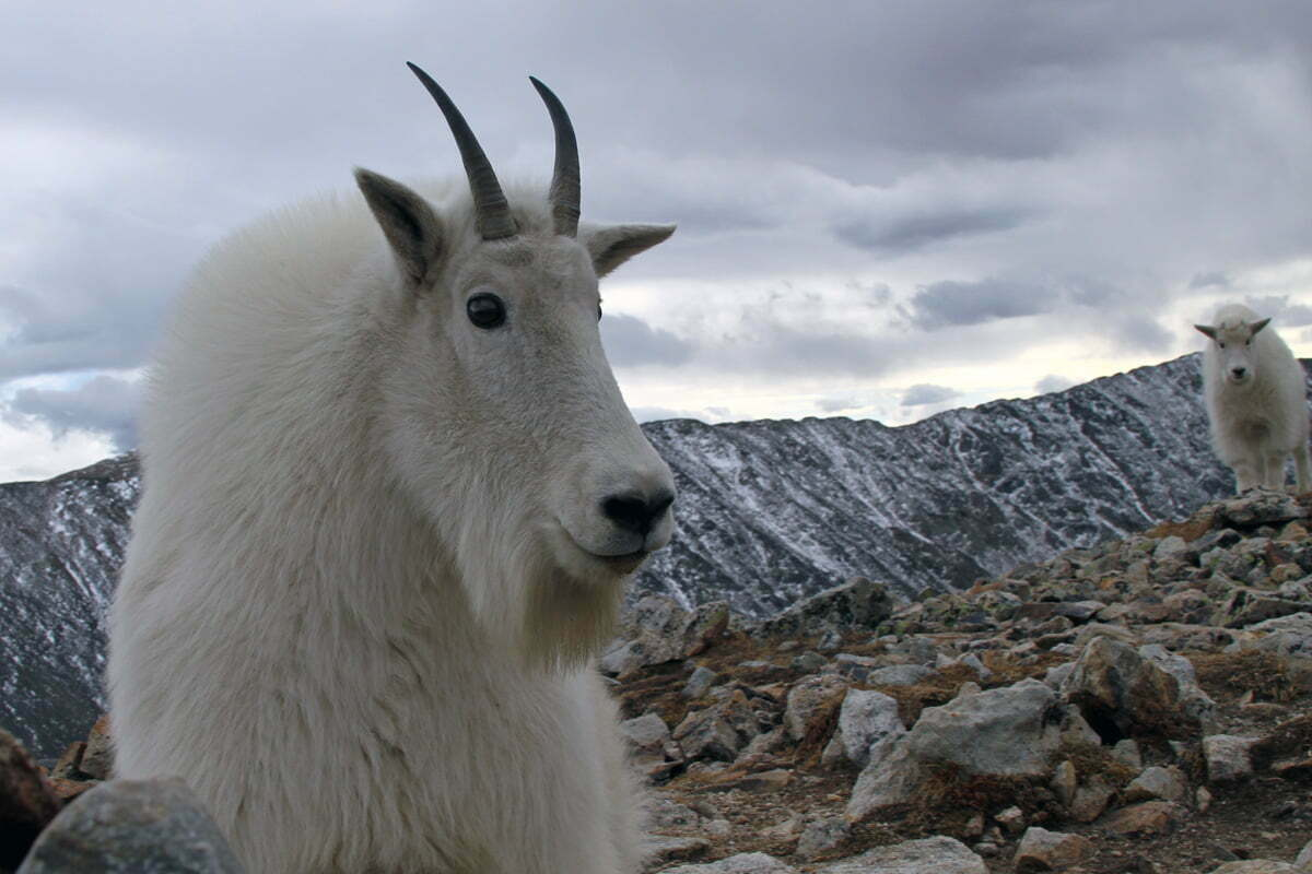 A large horned mountain goat faces off just a foot or so from a cameraman with a mountain goat kid in the background in Colorado.