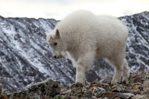 A fluffy white mountain goat kid walks along a rocky ridge in Colorado.