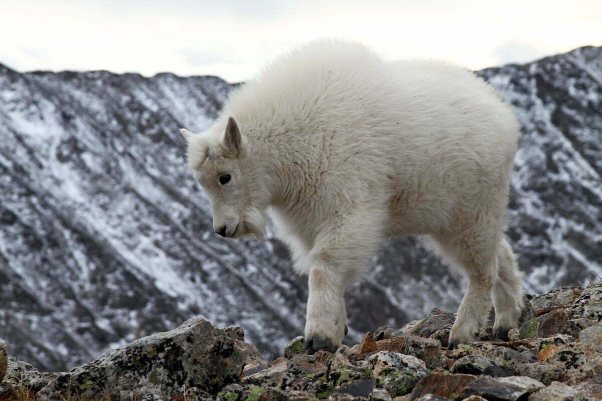 A fluffy white mountain goat kid walks along a rocky ridge in Colorado.