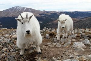 A mountain goat and kid stare into the camera from a few feet away on a Colorado mountaintop.