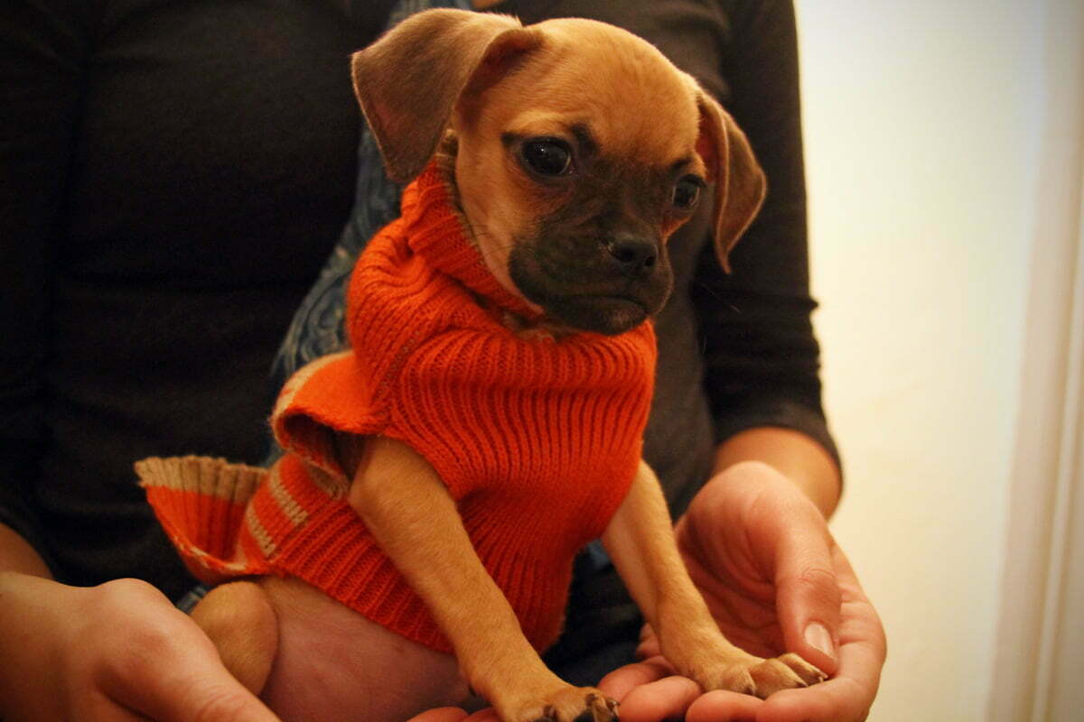 A mix of a beagle and pug puppy sits in a woman's lap wearing an orange sweater made for dogs.