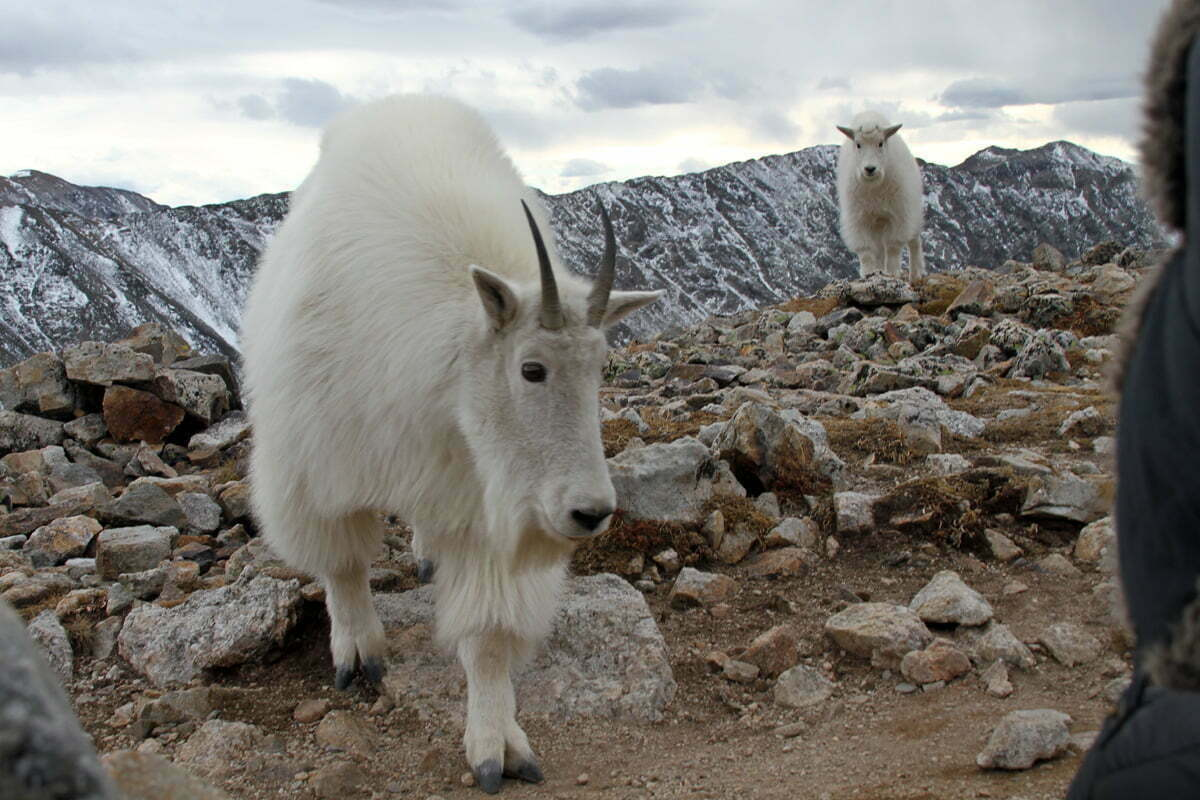 Two mountain goats come incredibly close to the cameraman in Colorado with the jacket of a fellow hiker visible just a couple feet from the goat's horns.