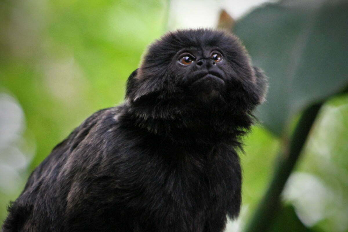 A little Goeldi's Marmoset Monkey (also called a Callimico) looks up while on a branch at Amazonia in the National Zoo of Washington DC.