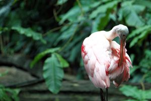 A Roseate Spoonbill scratches his feathers in Amazonia at the National Zoo in Washington DC.