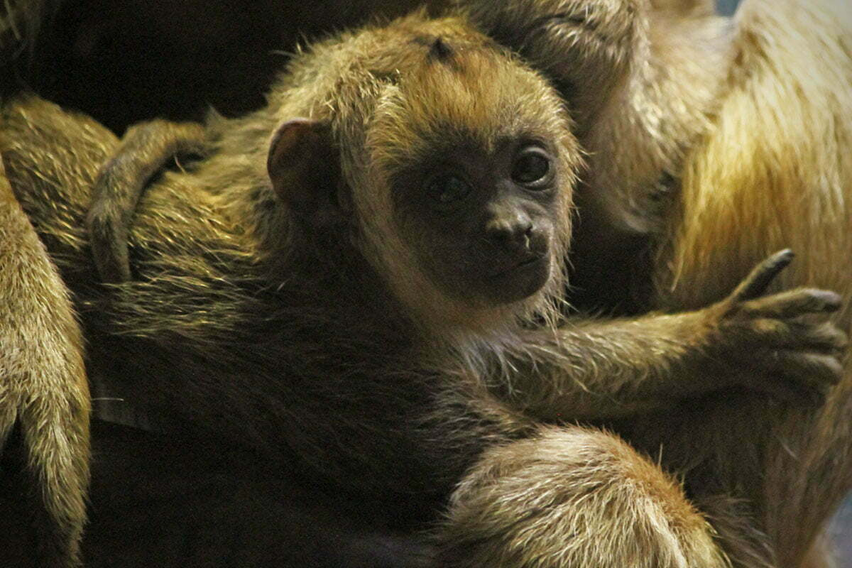 A baby black and gold howler monkey seen at the National Zoo's Small Mammal House in Washington DC.