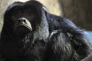 A black howler monkey with a big frown at the Small Mammal House at the National Zoo in Washington D.C.