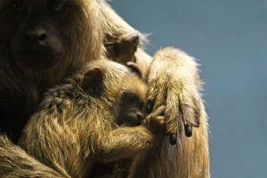 A golden infant howler monkey pulls on the finger of her mother.