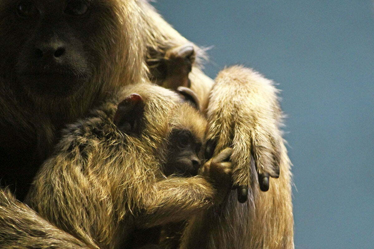 A golden infant howler monkey pulls on the finger of her mother at the National Zoo's Small Mammal House in Washington DC.