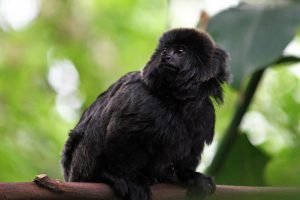 A Goeldi's marmoset monkey seen in Amazonia at the National Zoo in Washington DC.