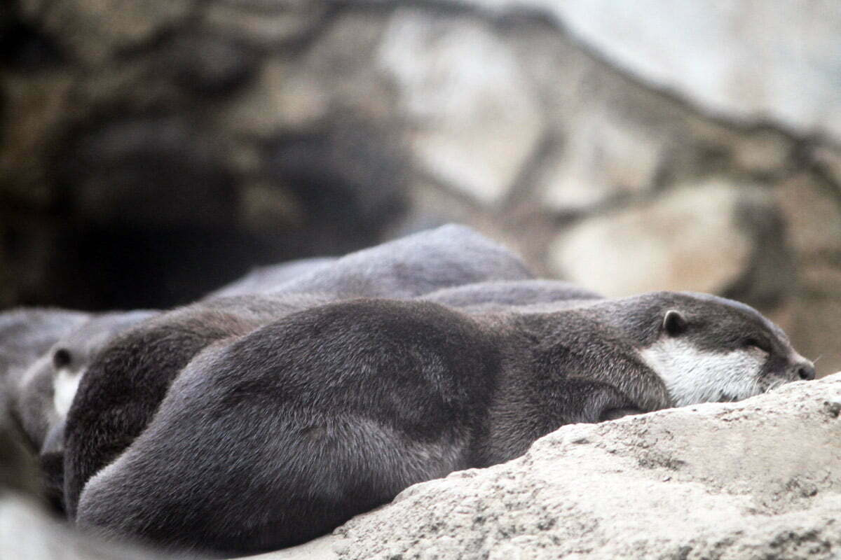 A group of otters sleep together to keep warm during the winter at the National Zoo in Washington DC.