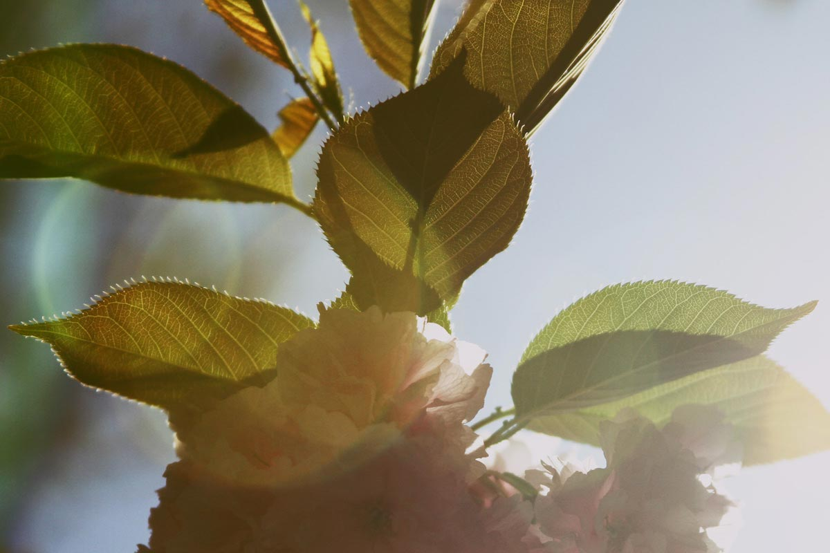 A high contrast lens flare of leaves and blossoms on a tree in the spring sunlight seen in Washington DC.
