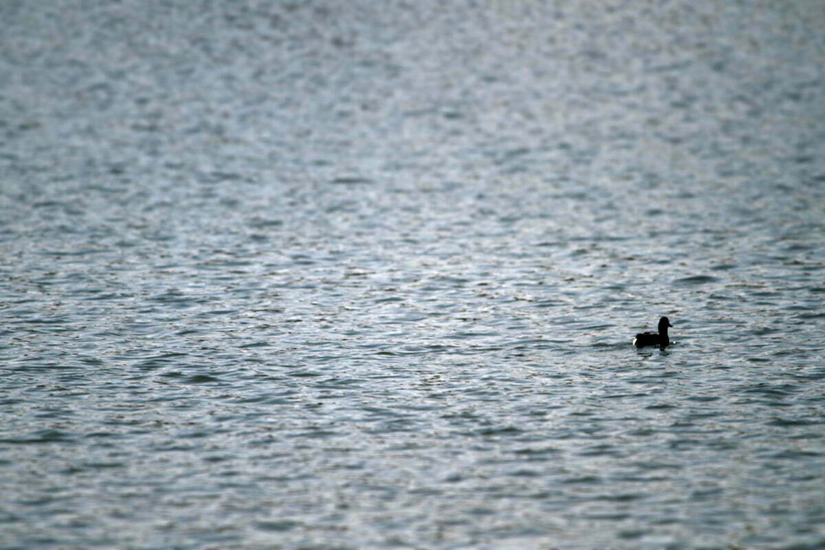 A single duck on the windy blue waters of the Tidal Basin in Washington DC.