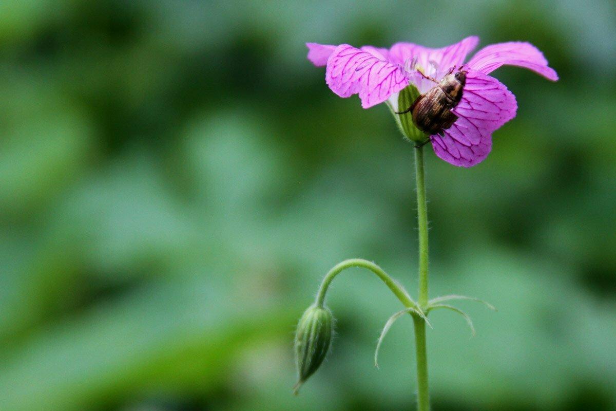 An enterprising beetle chomps away on a purple flower petal after climbing it's bare green stalk.