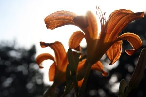 A group of Orange Daylilies seen from below with a sun causing a lens flare. These flowers are also known as Hemerocallis fulva, Tawny Daylily, Tiger Daylily or Ditch Lily.
