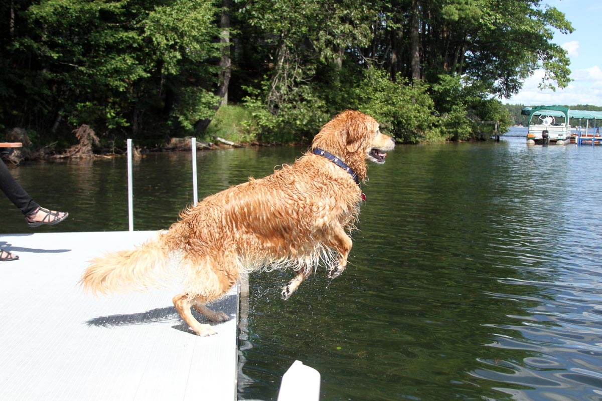 A wet Golden Retriever leaps into a lake on a sunny summer day. Photograph number one in a series of seven images of the jumping sequence.