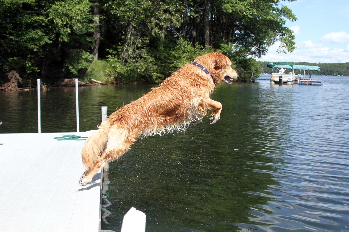 A wet Golden Retriever leaps into a lake on a sunny summer day. Photograph number two in a series of seven images of the jumping sequence.