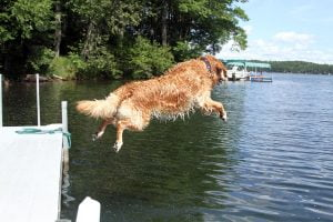 A wet Golden Retriever leaps into a lake on a sunny summer day. Photograph number three in a series of seven images of the jumping sequence.