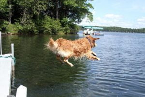 A wet Golden Retriever leaps into a lake on a sunny summer day. Photograph number four in a series of seven images of the jumping sequence.