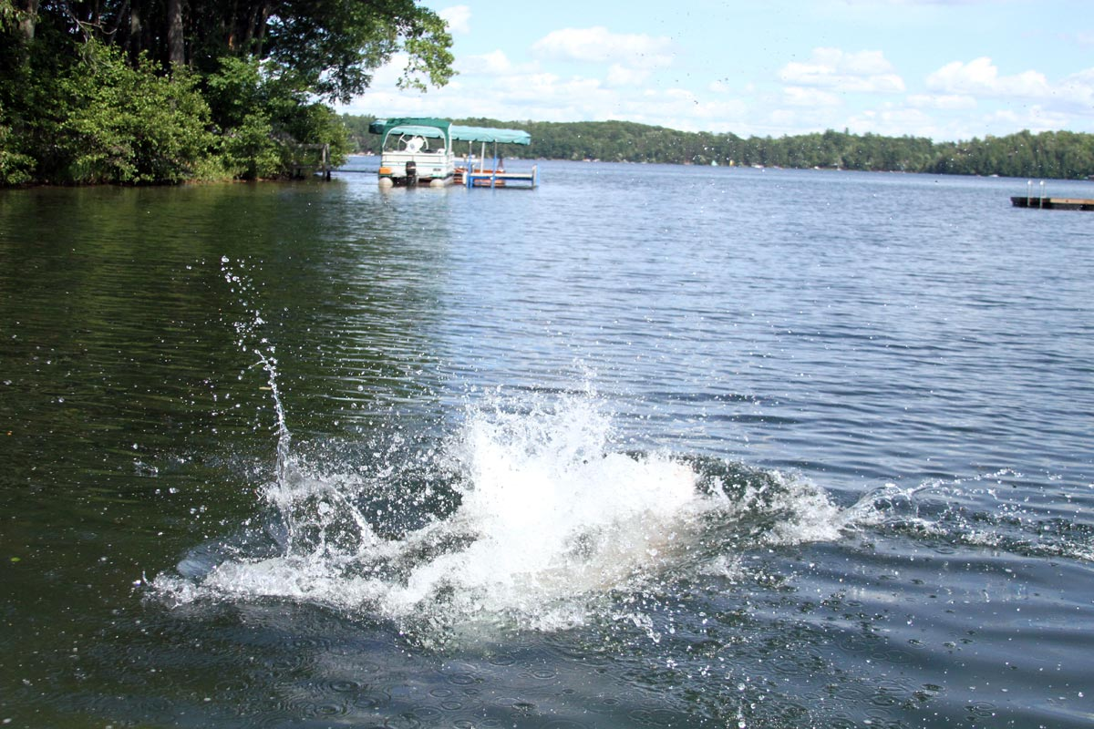 A wet Golden Retriever leaps into a lake on a sunny summer day. Photograph number seven in a series of seven images of the jumping sequence.
