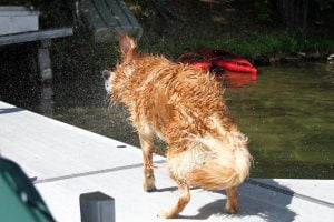 A wet Golden Retriever on a dock in a lake shakes the water off his fur with droplets going everywhere.
