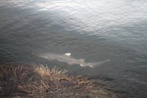 A small blue shark swims near the water surface off the breakwater in Rockport, Maine.