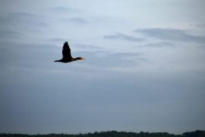 A black duck with an orange beak flies off the coast of Maine.